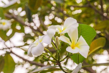 White Plumeria or frangipani flowers in garden
