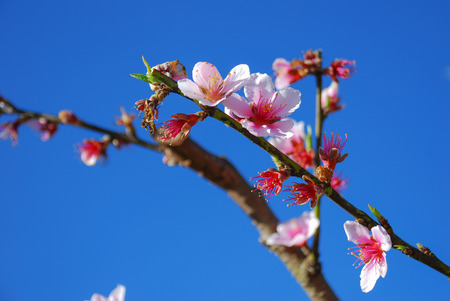 Wild Himalayan Cherry on the blue sky. photo
