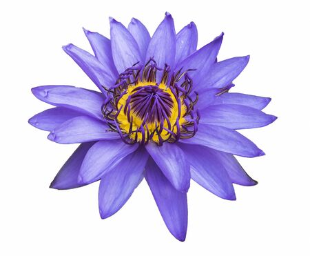 Purple lotus isolated on white photo
