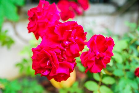 red rose bokeh: Blurred red rose flowers on green bokeh background