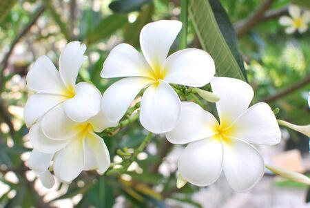 leelawadee: the flower name leelawadee in thailand Stock Photo