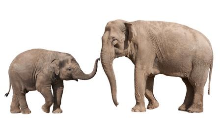 Pequeño becerro del elefante indio que juega con su madre aisladas en blanco Foto de archivo - 20057346
