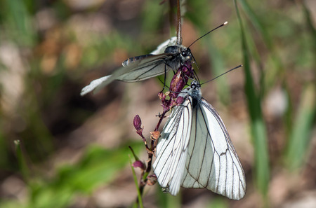 widlife: Two Black-veined White butterflies (the family Pieridae), sitting on one flower