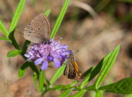 aphantopus: Brown and red butterflies sitting on a blue flower
