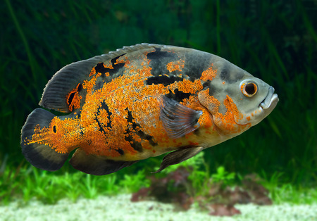 cichlidae: Bright Oscar Fish - South American freshwater fish from the cichlid family, known under a variety of common names including oscar, tiger oscar, velvet cichlid, or marble cichlid.
