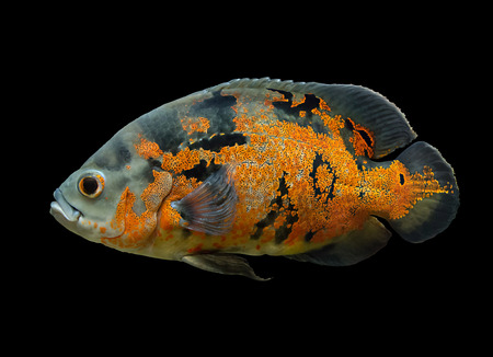Oscar Fish - South American freshwater fish from the cichlid family, known under a variety of common names including oscar, tiger oscar, velvet cichlid, or marble cichlid, isolated over black
