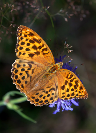 nymphalidae: Bright, orange Silver-washed Fritillary, a large butterfly of the family Nymphalidae, sitting on a blue flower against a dark background