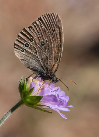 The Ringlet (Aphantopus hyperantus), a butterfly in the family Nymphalidae