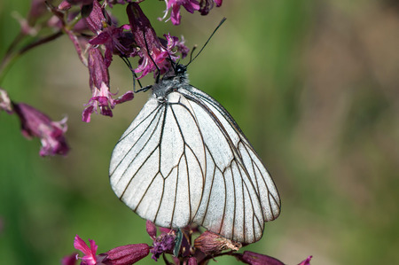 Black-veined White, a large butterfly of the family Pieridae, sitting on a purple flower photo