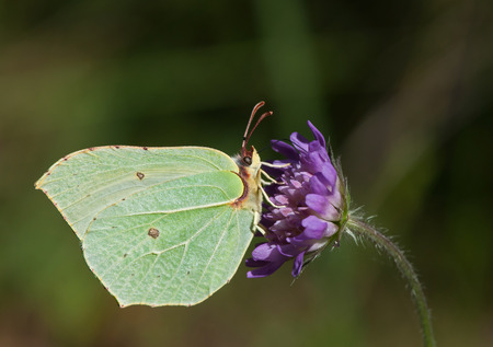 rhamni: Common Brimstone, a butterfly of the Pieridae family, feeding on blue Knautia flower Stock Photo