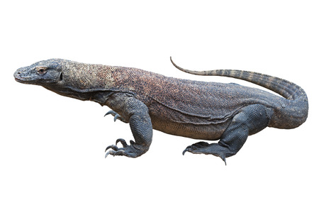 Dragón de Komodo (Varanus), también conocido como el monitor de Komodo, una gran especie de lagarto encontrado en las islas indonesias de Komodo, Rinca, Flores, GiliMotang y Padar. Foto de archivo