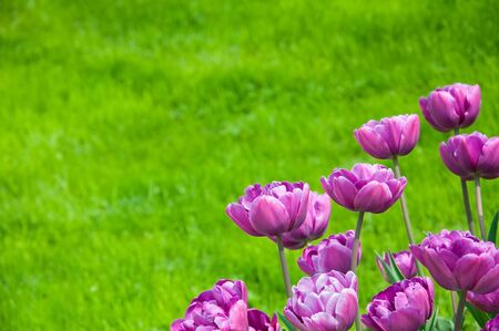 Background from rare violet tulips and green grass photo