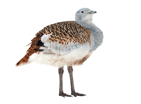 Great Bustard, the largest bird of southern and central Europe, isolated on white photo