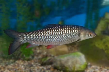 rutilus: Freshwater fish Common Roach in aquarium