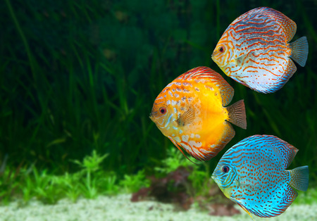 Three bright discus, freshwater fish native to the Amazon River, in aquarium