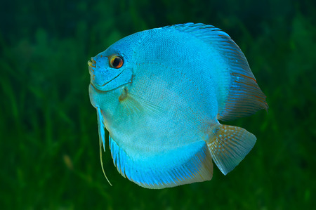 Blue Discus , freshwater fish native to the Amazon River, in aquarium photo
