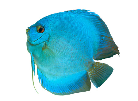 Blue Discus , freshwater fish native to the Amazon River, isolated on white
