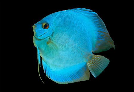 Blue Discus , freshwater fish native to the Amazon River, isolated on black Stock Photo