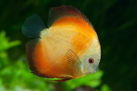 Orange Discus ,  freshwater fish native to the Amazon River, in aquarium Stock Photo