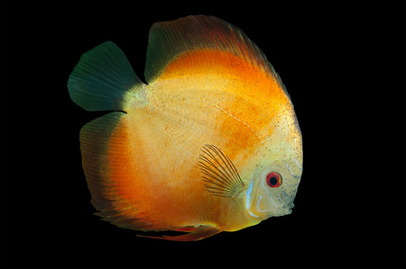 Orange Discus , freshwater fish from Amazon River isolated on black