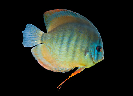 Discus ,  freshwater fish from Amazon River isolated on black