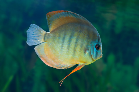 Discus ,  freshwater fish native to the Amazon River, in aquarium photo