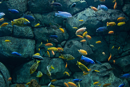 exoticism saltwater fish: Background of bright African fishes from Malawi lake underwater