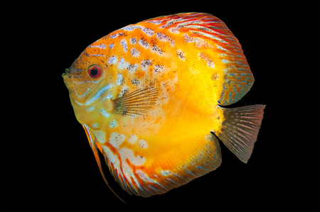 Discus,  freshwater fish native to the Amazon River isolated on black Stock Photo