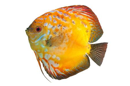 rio amazonas: Discus, peces de agua dulce nativas del río Amazonas aislado en blanco