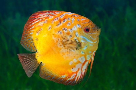 Freshwater fish Discus, native to the Amazon River, in aquarium photo