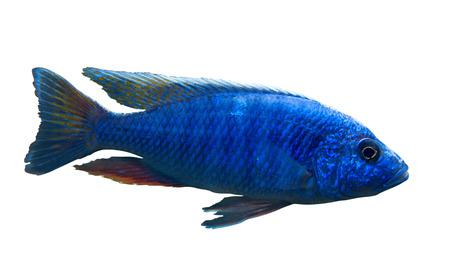 cichlidae: Bright blue African fish Sciaenochromis fryeri from Malawi lake isolated on white