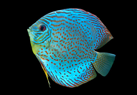 discus fish: Discus ,  freshwater fish native to the Amazon River isolated on black