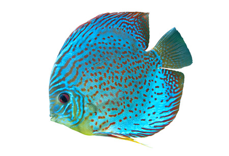 Discus,  freshwater fish native to the Amazon River isolated on white Stock Photo