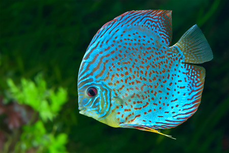 Discus (Symphysodon spp.),  freshwater fish native to the Amazon River, in aquarium