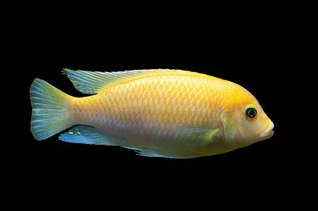exoticism saltwater fish: Bright yellow African fish Maylandia Zebra from Malawi lake isolated on black Stock Photo