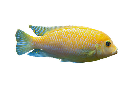 exoticism saltwater fish: Bright yellow African fish Metriaclima (Maylandia) from Malawi lake isolated on white