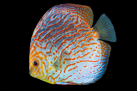 Discus (Symphysodon spp.),  freshwater fish native to the Amazon River isolated on black Stock Photo