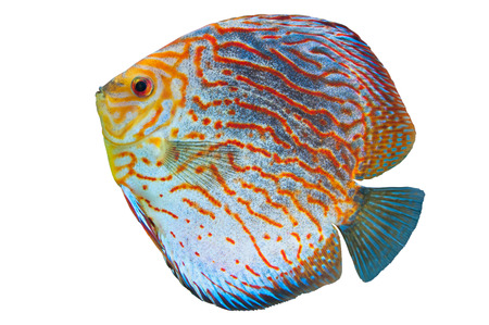 Discus (Symphysodon spp.),  freshwater fish native to the Amazon River isolated on white Stock Photo