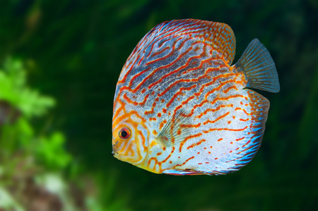 Discus (Symphysodon spp.),  freshwater fish native to the Amazon River photo