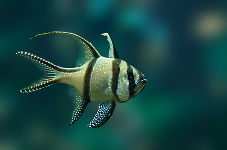 exoticism saltwater fish: Small tropical fish Banggai cardinalfish underwater