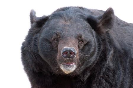 oso negro: Un retrato de Asiatic Oso Negro (Tibetan oso negro, oso negro del Himalaya, oso de la luna) aislado en blanco