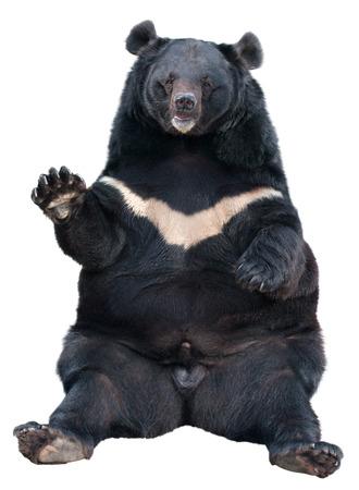 oso blanco: Sentado asiático Oso Negro (Tibetan oso negro, oso negro del Himalaya, oso de la luna) aislado en blanco