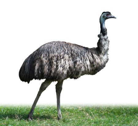 Adult Emu male, Australian ostrich, isolated on white Stock Photo