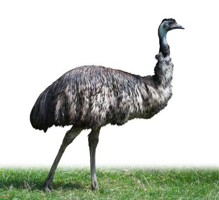 dromaius novaehollandiae: Adulto Emu masculina, avestruz australiano, aislado en blanco Foto de archivo