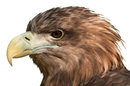 side viewing: Close-Up of a golden eagle's head isolated on white Stock Photo