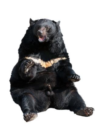 ursus: Asiatic black bear (other names: Tibetan black bear, Himalayan black bear, moon bear) isolated on white