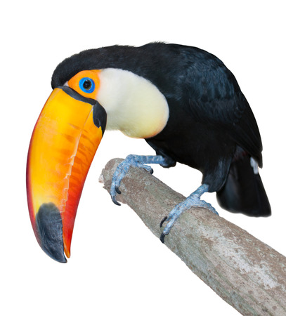 curiously: Toucan with a huge yellow beak looking curiously isolated on white Stock Photo