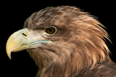 Close-Up of a golden eagle's head isolated on black