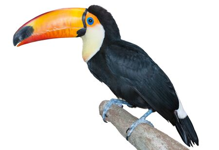 curiously: Playful toucan on a twig staring curiously isolated on white