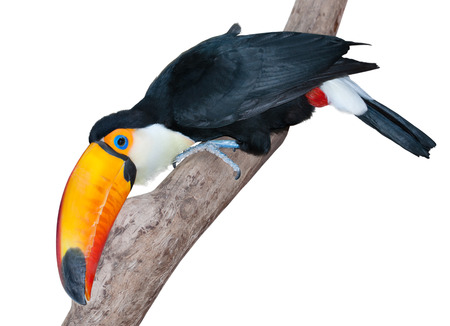 beak: Funny toucan with a huge yellow beak on a twig looking very curiously isolated on white
